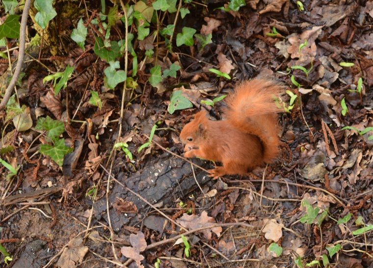 Red Squirrels Alverstone Isle of Wight togetherintransit.nl 13