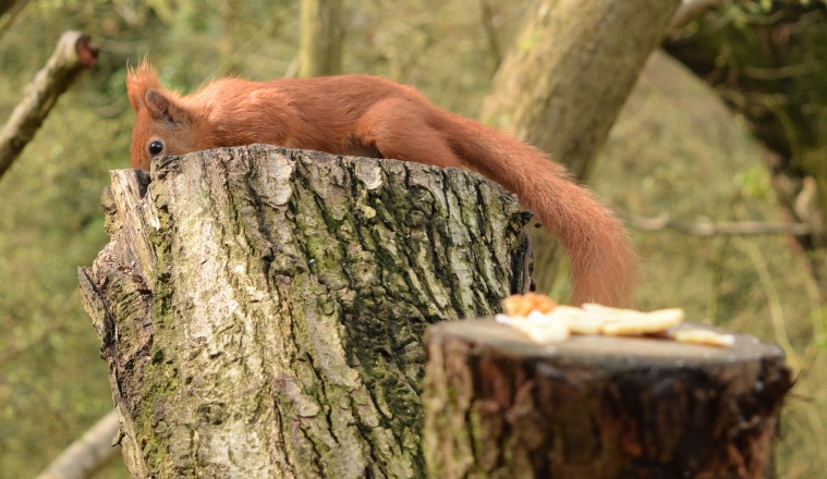 Red Squirrels Alverstone Isle of Wight togetherintransit.nl 16