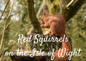Red Squirrels Alverstone Isle of Wight togetherintransit.nl 3